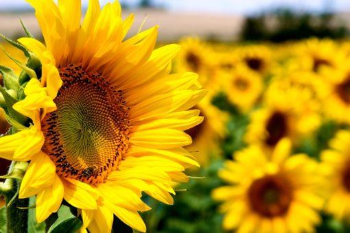 Floarea Soarelui ITCseeds