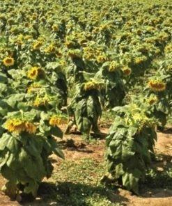 Floarea-Soarelui Betina