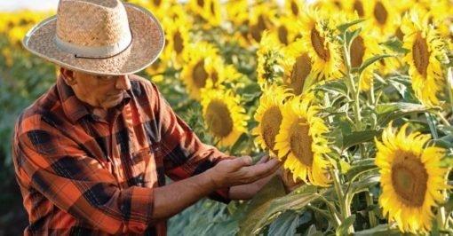 Performer-Floarea-Soarelui